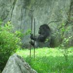 """Gorilla"" by kimberlyfdr"