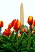 Tulip Garden at Washington Monument