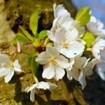 """Cherry Blossom"" by SantoshGaikwad"