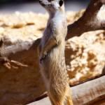 """Meerkat"" by RashedNaamani"