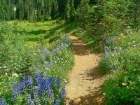 Journey With Wildflowers - Mount Rainier