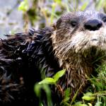 """""""Otter"""" by lwbhoosier"""
