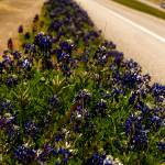 """Highway Bluebonnets"" by javanslyke"
