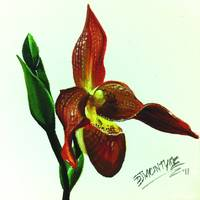 Red Lady Slipper Orchid
