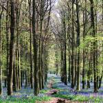 """Bluebell Woodland"" by ianjeffrey"