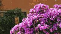 Azalea on the Spanish Steps