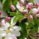 """""""Crabapple Blooms 21, Colorado"""" by sethgoldstein72"""