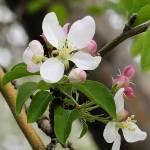 """""""Crabapple Blooms 22, Colorado"""" by sethgoldstein72"""