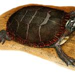 """Eastern Painted Turtle"" by inkart"