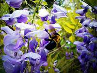 Wisteria and Bee
