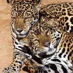 """2 Jaguars"" by Rashedalnaamani"