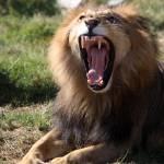 """Lion"" by Rashedalnaamani"