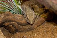 animal lizard reptile (52)