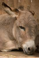 animal mamal donkey portrait
