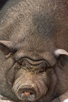 animal pig POTBELLIED-2162 (2)
