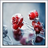 Iced roses_01