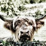 """Highland Cow"" by davidanderson"