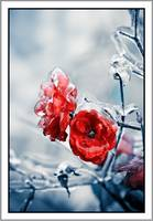 Iced roses_02