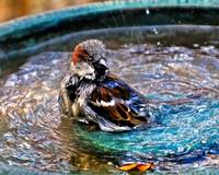 House Sparrow in the Bird Bath.