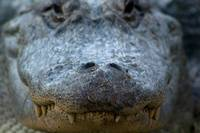 animal reptile alligator face5