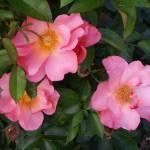 """Pink Roses"" by ShayneHanson"