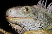 animal reptile dragon iguana2