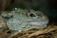 animal reptile lizard_01
