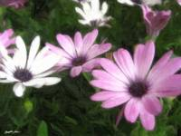 Purple and White Daisies 1 Painterly