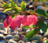 Sun kissed bleeding hearts