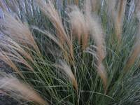 Grasses  in breeze