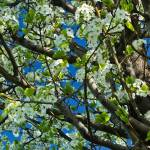 """Bradford Pear Tree"" by julieandel"