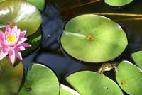 Frog lives in lili Pond