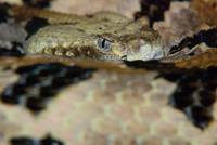animal snake reptile rattle snake (6)