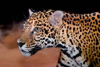 animals cat jaguar-1571