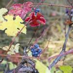 """Autumn Mendo Pinot Noir"" by Sonja"