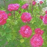 """""""Roses"""" by JenniferLaskerWhite"""