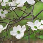 """white flowering tree against vivid green"" by HeatherLanza"