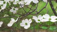 white flowering tree against vivid green