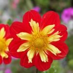 """Flower at Golden Gate"" by Liberando4Life"