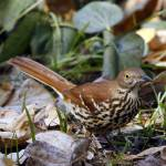 """Brown Thrasher (Toxostoma rufum)"" by davisrobertb"