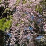 """""""Weeping Cherry Tree"""" by julieandel"""