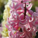 """Pink Hyacinth"" by stilljustabill"