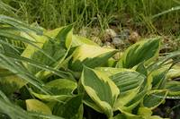 Wet Hosta Leaves
