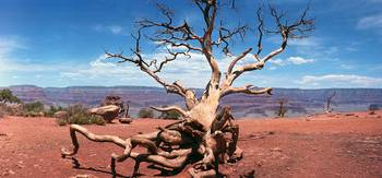 Grand_Canyon_Tree