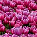 """""""Tulips"""" by JMonroe"""