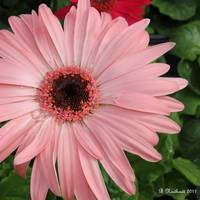Square Framed Pink Daisy