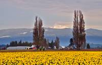 Mt. Baker and Daffodils