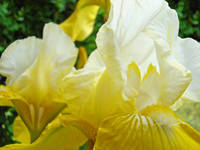 Irises art Yellow Iris Flowers Garden Baslee
