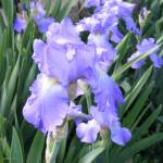 """Company of Irises"" by lucesalegres"