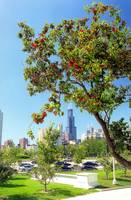 Red Blossom Tree in Chicago